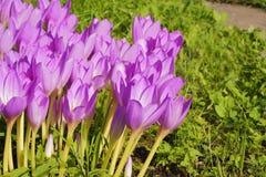 Speciosum do Colchicum - Colchicaceae botânico da família - no jardim Imagem de Stock Royalty Free