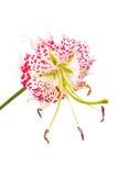 speciosum var lilium gloriosoides Стоковые Изображения RF