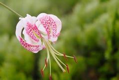 speciosum var lilium gloriosoides Стоковое Фото