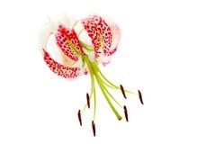 Speciosumvariëteiten van Lilium gloriosoides Royalty-vrije Stock Afbeeldingen
