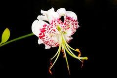 Speciosumvariëteiten van Lilium gloriosoides Royalty-vrije Stock Foto's