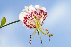 Speciosumvariëteiten van Lilium gloriosoides Stock Afbeelding