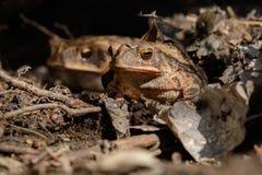 Speciosus van Texas Toad - Anaxyrus- stock afbeelding