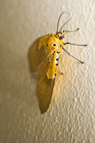 Specious Tiger Moth royalty free stock photography