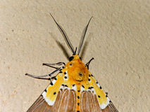 Specious Tiger moth 7 Stock Photography