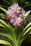 Specjalna Rzadka orchidea od orchidea ogródu obraz stock