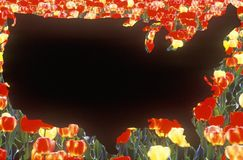 Specjalni skutki: Kontur Stany Zjednoczone stały ląd z tulipanami Obraz Stock