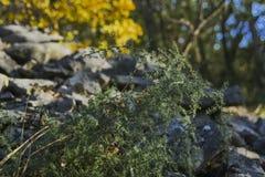Specjalny spiky krzak i kamienna ściana Zdjęcie Stock