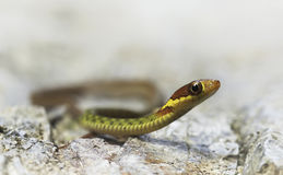 Speckle bellied keelback (Rhabdophis chrysargos) Royalty Free Stock Images