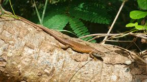 Speckle-lipped Skink Royalty Free Stock Photo