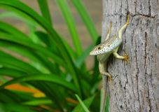 Speckle-lipped Skink Stock Photos
