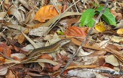 Speckle-lipped Skink Camouflage Royalty Free Stock Photo