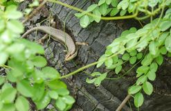 Speckle-lipped Skink Stock Image