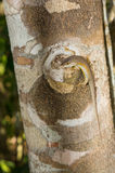 Speckle-lipped Skink on tree log, Kenya, East Africa Stock Photos