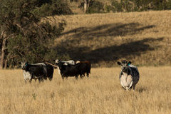 Speckle Park Cattle Royalty Free Stock Images