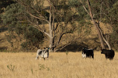 Speckle Park Cattle Royalty Free Stock Photography