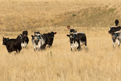 Speckle Park Cattle Royalty Free Stock Photo