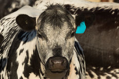 Speckle Park Cow Royalty Free Stock Images