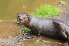 Speckle-throated otter Royalty Free Stock Image