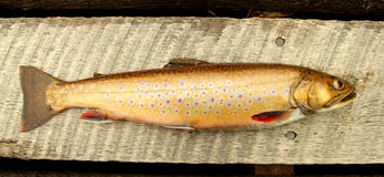Speckle trout Stock Photography