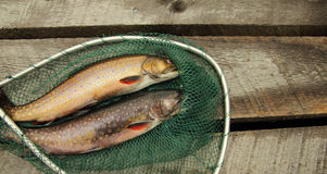 Speckle trouts Stock Photo