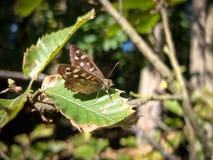 speckled δάσος πεταλούδων στοκ εικόνα με δικαίωμα ελεύθερης χρήσης