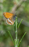 speckled δάσος πεταλούδων Στοκ εικόνες με δικαίωμα ελεύθερης χρήσης