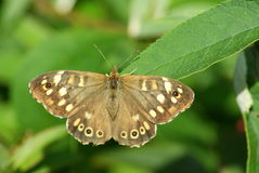 speckled δάσος πεταλούδων Στοκ φωτογραφία με δικαίωμα ελεύθερης χρήσης