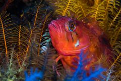 Speckled υποβρύχια κινηματογράφηση σε πρώτο πλάνο venustris Klipfish Clinus Στοκ φωτογραφίες με δικαίωμα ελεύθερης χρήσης