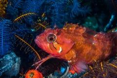 Speckled υποβρύχια κινηματογράφηση σε πρώτο πλάνο venustris Klipfish Clinus Στοκ φωτογραφία με δικαίωμα ελεύθερης χρήσης