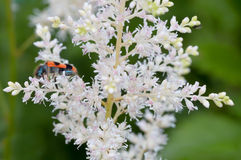 Speckled beetle on a white flower Stock Images
