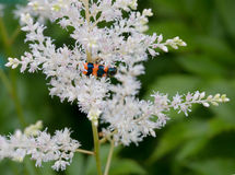 Speckled beetle on a white flower Royalty Free Stock Photography