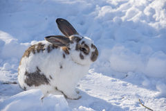 Speckled bunny sitting in snowy garden Royalty Free Stock Images