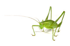 Speckled Bush-Cricket Royalty Free Stock Photography