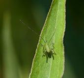 Speckled Bush Cricket baby Stock Photo