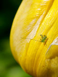 Speckled bush cricket baby Royalty Free Stock Image