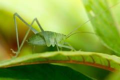 Speckled bush-cricket Stock Images