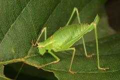 Speckled bush-cricket (Leptophyes punctatissima) Stock Photo