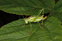 Speckled bush-cricket (Leptophyes punctatissima) Royalty Free Stock Photos
