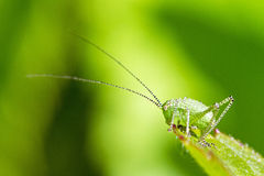 The speckled bush-cricket nymph Royalty Free Stock Photos
