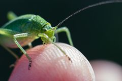 Speckled bush cricket standing on a finger tip royalty free stock photography