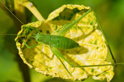 Speckled Bush Cricket  ( Leptophyes punctatissima ) Royalty Free Stock Photos
