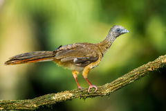 Speckled Chachalaca Stock Image