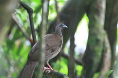 Speckled Chachalaca Royalty Free Stock Photography