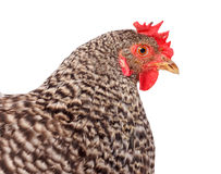 Speckled chicken portrait Stock Photography