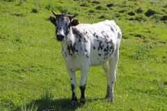 Speckled cow. Specled cow on the grass Royalty Free Stock Photo