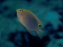 Speckled damselfish. In Bohol sea, Phlippines Islands Royalty Free Stock Image