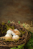 Speckled eggs in nest Stock Images
