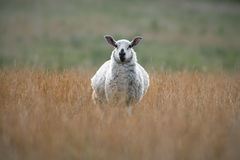 Speckled Face Sheep Standing In Dried Grass Royalty Free Stock Images