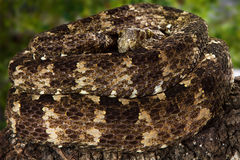 Speckled Forest PitViper Closeup Royalty Free Stock Image